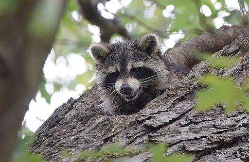 512px-Raccoon_(37283485380)